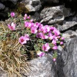 Purple saxifrage on Pen-y-ghent