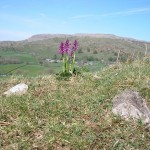 Spring time in the Dales - Early Purple Orchids